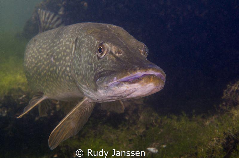 Pike by Rudy Janssen