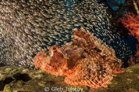 Scorpion fish waiting for prey by Gleb Tolstov