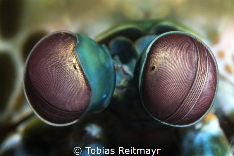 Peacock Mantis Shrimp, Jetty at Padang Bay, Bali by Tobias Reitmayr