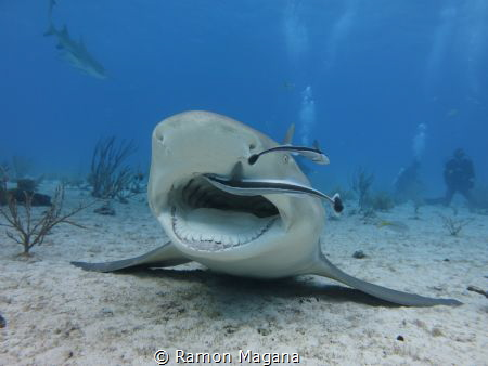 Cleaning station for the lemon shark... by Ramon Magana