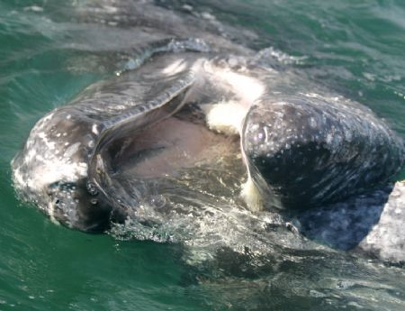 Baleen Mouth.  This Gray Whale allowed me to scratch he... by James Dorsey