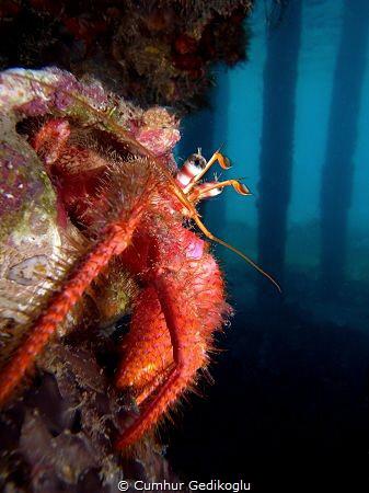 Dardanus calidus Secret hole point under the jetty. by Cumhur Gedikoglu