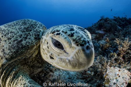 turtle portrait by Raffaele Livornese