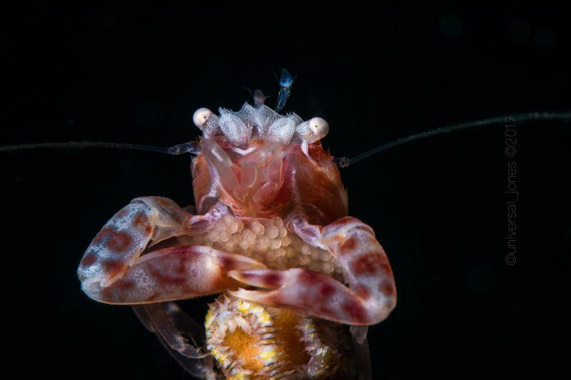 Lissoporcellana nakasone Porcelain Crab with Egg   Ca... by Wayne Jones