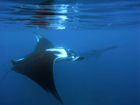 Our best local manta site here off Punta Mita, Mexico. Sh... by Tyania Diffin