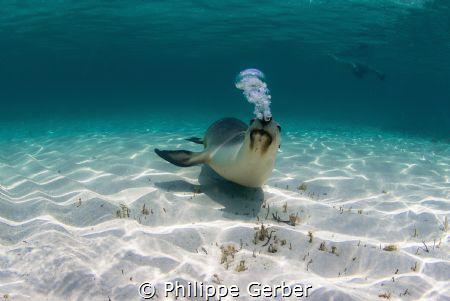 Australian sea lion (IUCN endangered species) making bubb... by Philippe Gerber