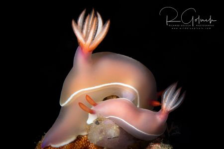 Pair of nudis-Hypselodoris bullocki-Anilao. by Richard Goluch