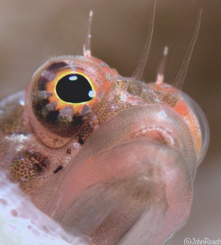 At Home.....Starksia  hassi   Ringed Blenny  by John Roach