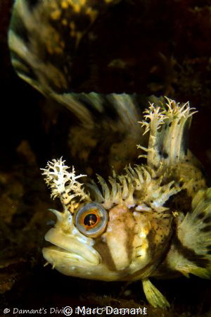 Decorated Warbonnet poised to strike. by Marc Damant