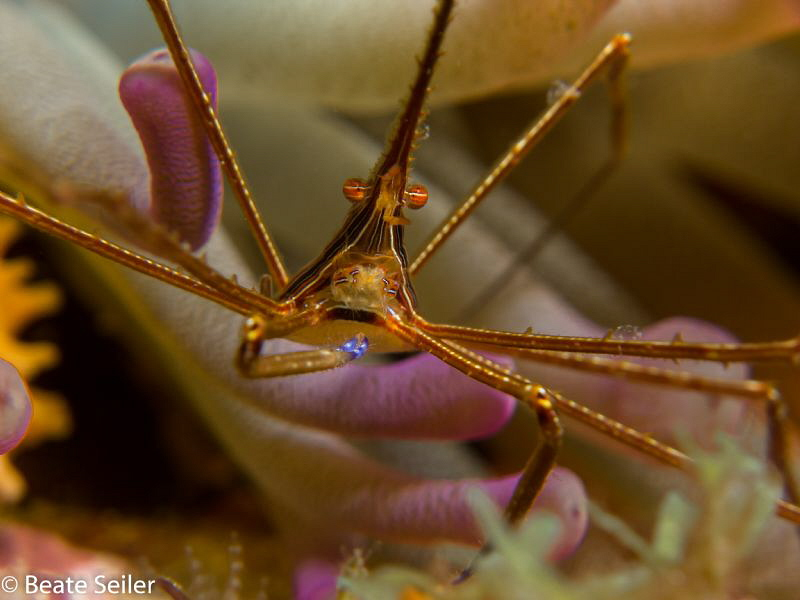 Arrow Crab by Beate Seiler