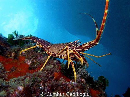 Palinurus elephas Spiny Lobster under the jetty. by Cumhur Gedikoglu