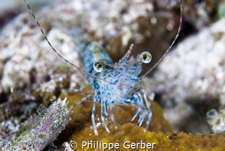 Nice little shrimp at the end of a night dive!! by Philippe Gerber