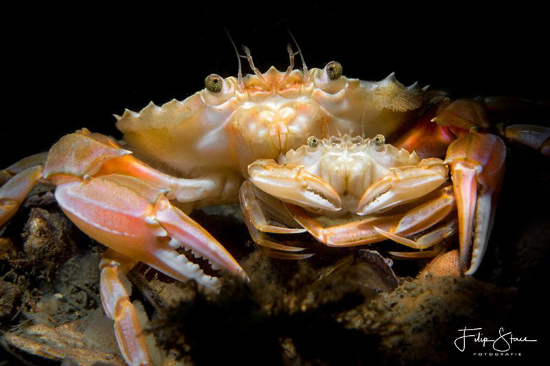 Harbour crab or Sandy swimming crab(Liocarcinus depurator... by Filip Staes