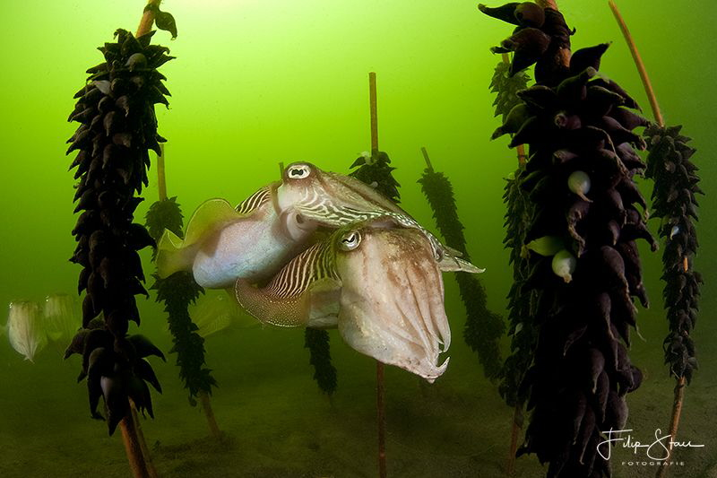 Cuttlefish between their eggs, Zeeland, the Netherlands. by Filip Staes