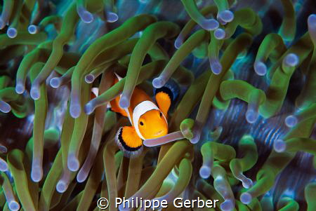 Nice litle clownfish :) by Philippe Gerber