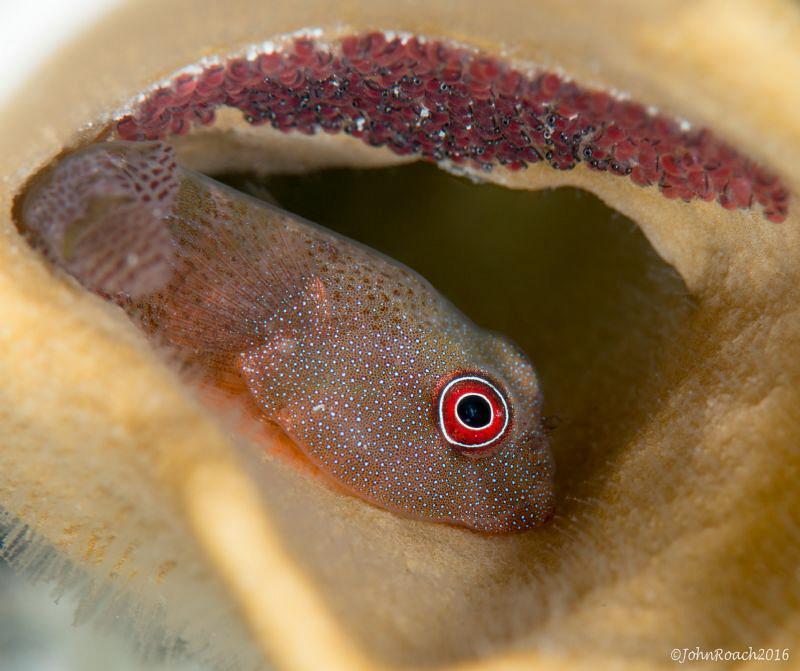 Acyrtus artius Papillate Clngfish  Bonaire NA  by John Roach