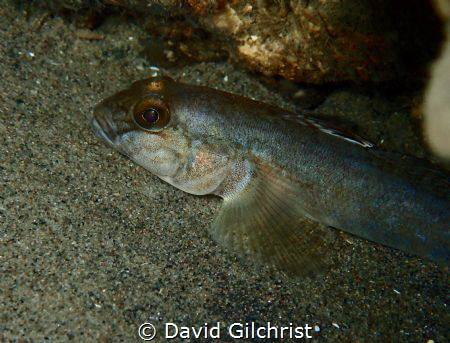 A Round Goby resting on the bottom of the Niagara River by David Gilchrist