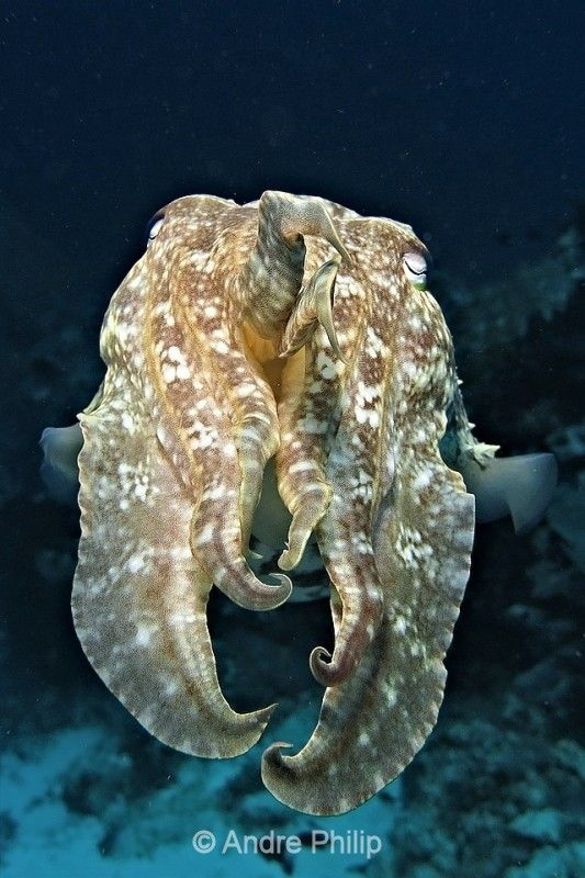Contact... with a Broadclub cuttlefish (Sepia latimanus) by Andre Philip