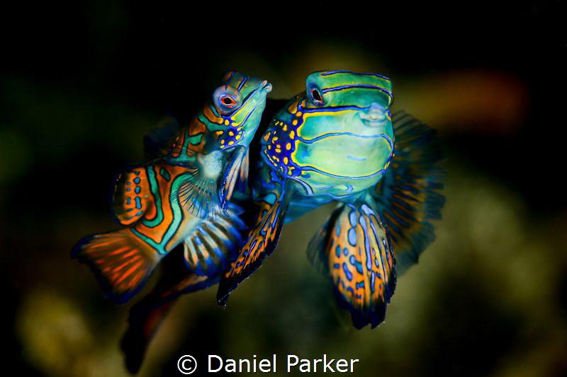 MANDARIN MATING DANCE by Daniel Parker