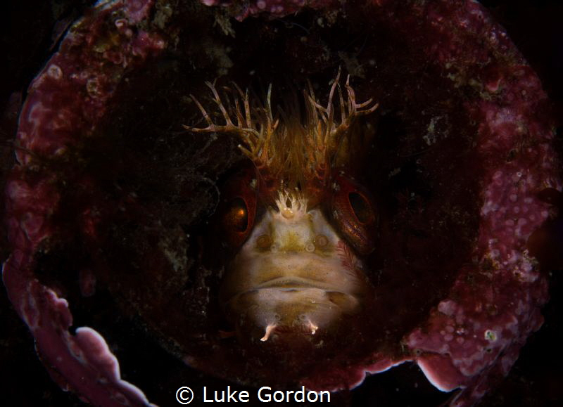 Genie In A Bottle - A Mosshead Warbonet sits inside a dis... by Luke Gordon