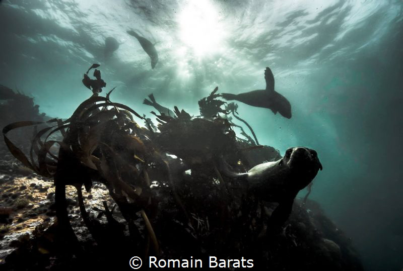 cape fur seal diving by Romain Barats