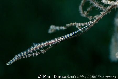 A Blade Shrimp resting on a branch. 100mm macro by Marc Damant