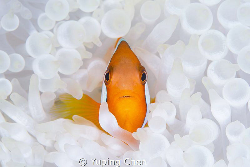 Living in the White/Tomato Anemonefish/Ishigaki, Okinawa,... by Yuping Chen