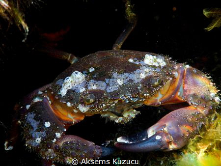 "probably ""old crab"" limpets located on by Aksems Kuzucu"