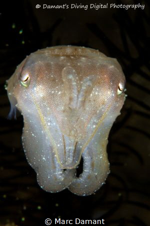 Casper the ghost! A cuttlefish in the dark! by Marc Damant