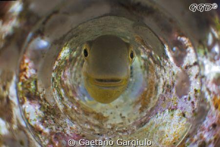 """thou shall not pass!!!"" blenny defending the nest full o... by Gaetano Gargiulo"