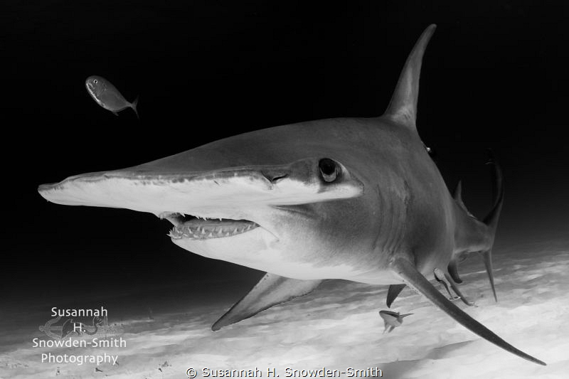 Up close and personal with a great hammerhead by Susannah H. Snowden-Smith