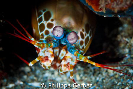 Queen of all shrimps !! by Philippe Gerber