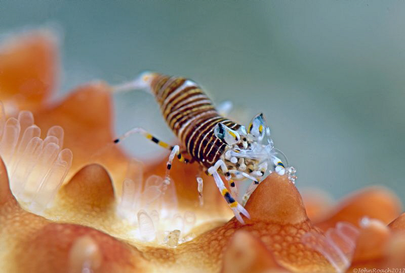 Bumblebee Shrimp   Gnathophyllum americanum by John Roach