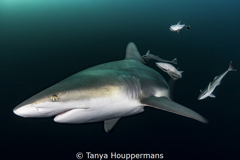 'Flyby' - A blacktip shark passes by with a group of remo... by Tanya Houppermans