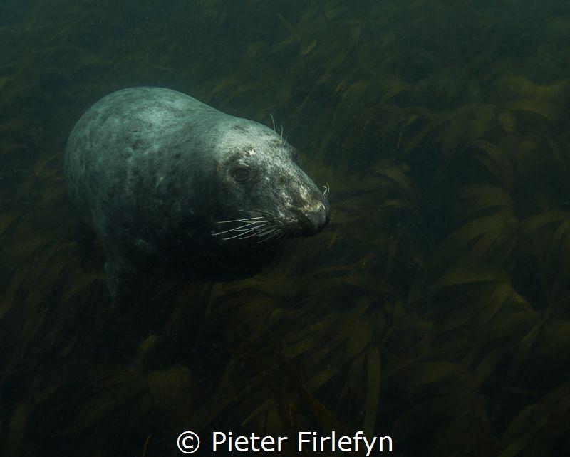 seal by Pieter Firlefyn