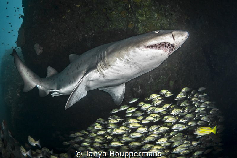 'Raggie' - A male ragged tooth shark (also known as a san... by Tanya Houppermans