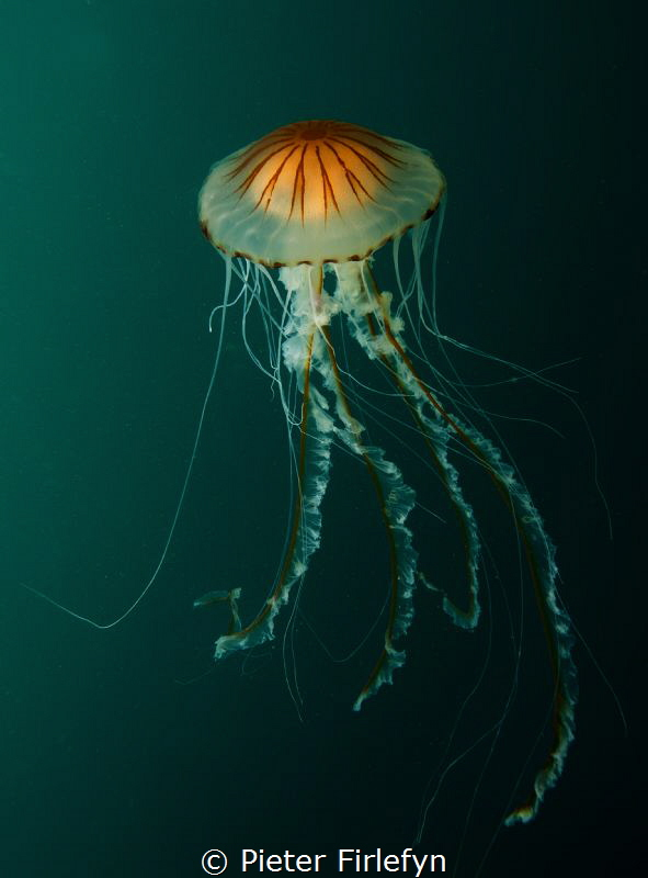 jellyfish by Pieter Firlefyn