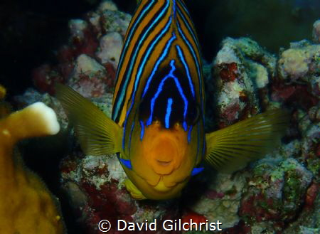 Head on with a Royal Angelfish in the Red Sea. by David Gilchrist