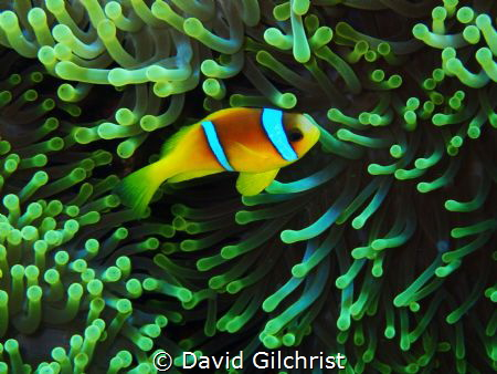 Red Sea Anemonefish ( Amphiprion bicinctus) With its anem... by David Gilchrist