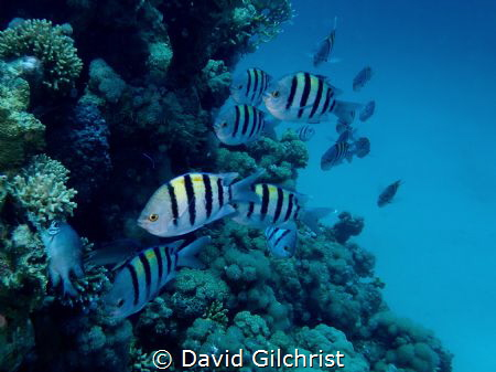A school of Sergeant Majors rushes towards me as I was ph... by David Gilchrist