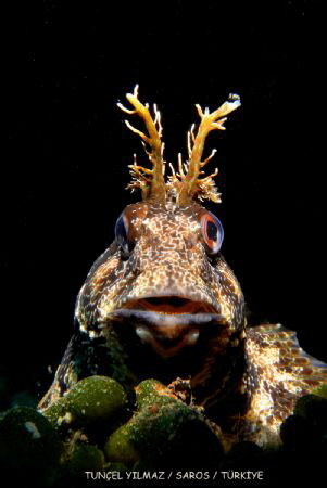 Common Blenny,  I've got to take several shots (with hold... by Tuncel Yilmaz