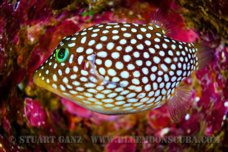Hawaiian White Spotted Toby by Stuart Ganz