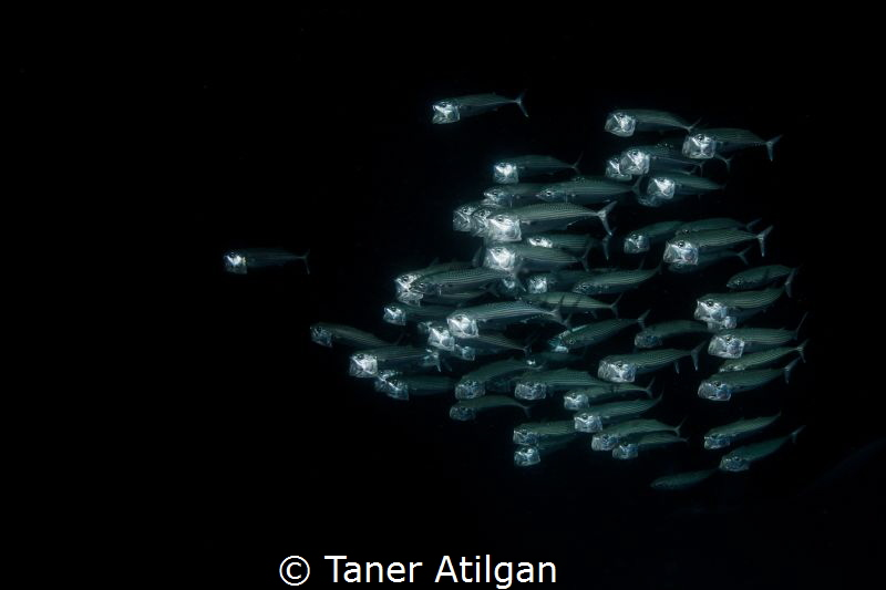 Mackerels at night dive by Taner Atilgan