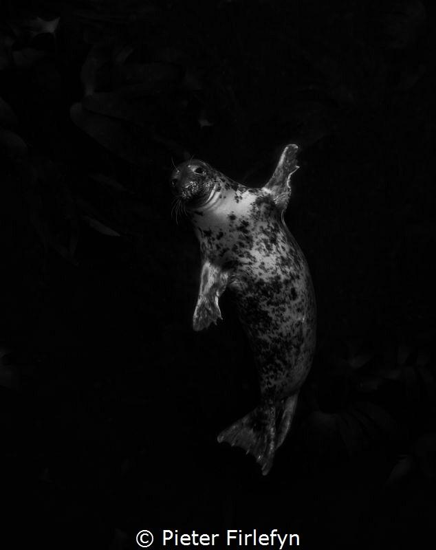 Hi seal!B&W by Pieter Firlefyn