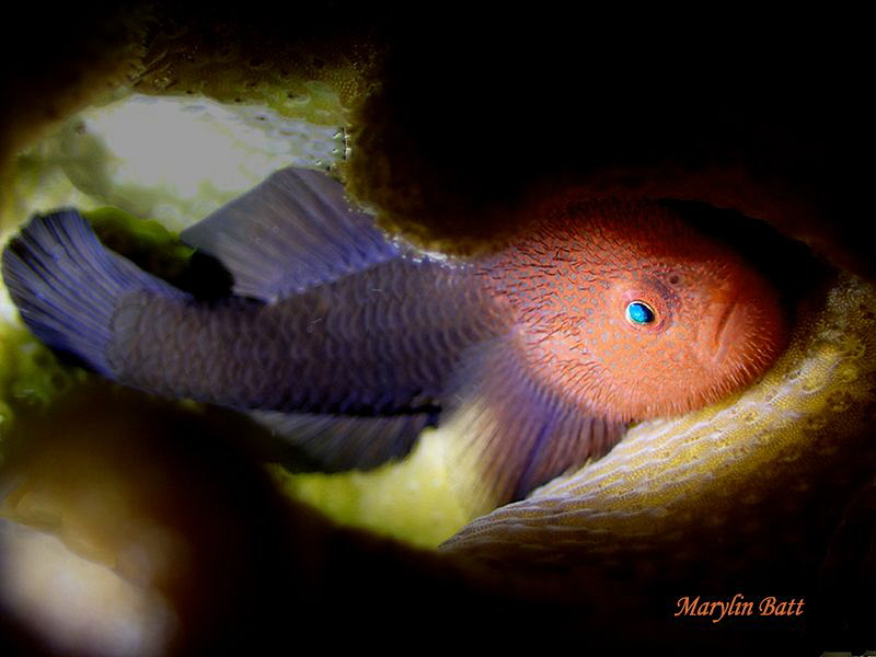 Beautiful full body shot of Brown brarded Goby, Anilao,Ph... by Marylin Batt