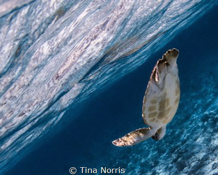 Snorkeling with Sea Turtles, Spotts Beach by Tina Norris