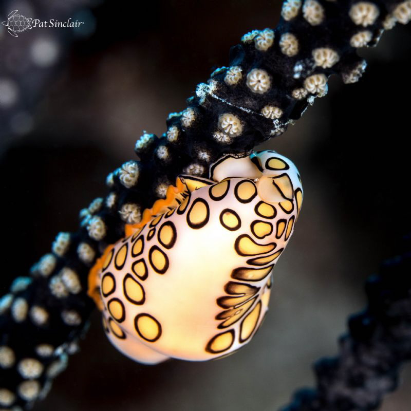 The contrast between the Flamingo Tongue snail and the bl... by Patricia Sinclair