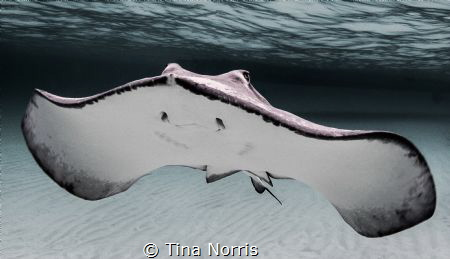 Stingray black/white by Tina Norris