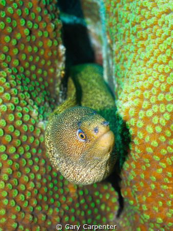Goldentail moray (Gymnothorax miliaris) - Picture taken w... by Gary Carpenter