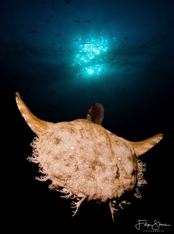 Wobbegong shark, double exposure, Raja Ampat. by Filip Staes